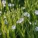 04 На лужайках сияют белоснежные цветы звездчатки