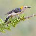Золотолобый меланерпес - Golden fronted Woodpecker