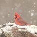 Красный кардинал - Northern Cardinal male