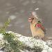 Красный кардинал - Northern Cardinal female