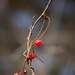 Интересна одна биологическая особенность - Лимонник спирально обвивает опору по часовой стрелке.