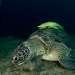 А теперь корова узнала, что вдоль берега есть еще травяные поля, и стала плавать туда-сюда. И тут черепахи вдохнули полной грудью. На глубине трех-пяти метров можно увидеть одновременно 5-6 черепах, и каждая будет не меньше полутора метров, а часто и больше.