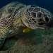 Живут зеленые черепахи до 80 лет, если не заболеют или не станут жертвами голодных людей или акул. Вместе с черепахами часто можно встретить рыб-прилипал, которые питаются выделениями черепах, а иногда и паразитами. На голове у этих рыб расположена присоска, образованная спинным плавником. Присосавшись к черепахе рыба имеет возможность путешествовать вместе с ней.