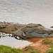 Оринокский крокодил-обитает в бассейне реки Ориноко на севере Южной Америки. Один из самых крупных видов крокодилов и самое крупное животное Южной Америки (длина до 6м). Так же является одним из самых редких крокодилов,  в дикой природе насчитывается от 250 до 1500 особей.