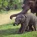 Со временем приют превратился в питомник - в 1982 году была запущена программа по разведению слонов на его территории.