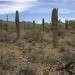 Фауна пустыни характеризуется меньшим своеобразием. Только здесь можно встретить антилопового зайца, антилопового суслика. Для Соноры характерны несколько видов гремучих змей, змея лира, мелкие роящие змеи, розовый удавчик, листопалый геккон, среди земноводных — колорадская жаба. Среди млекопитающих обычны грызуны (кенгуровые крысы), представители семейства беличьих (земляные белки), хомякообразные (оленьи мыши и другие), зайцеобразные.