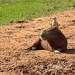 Довольно часто на Капибар садятся разные пернатые, например цапли (когда неохото мочить лапы в воде)    и даже соколиные (химахима) не прочь погонять клещей на спине капибары.