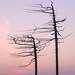 Сахалинские пальмы
