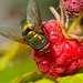 Зеленая муха тоже очень любит малинку!
