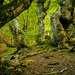 Так приятно было фотографировать и общаться с деревьями, что время прошло незаметно. Я даже увидела недалеко от себя большого ворона, который пытался мне что-то рассказать. В буковом лесу несомненно есть что-то незабываемое, таинственное и необычное. Чего стоят только корни буков разнообразной формы, покрытые мхом и порой образующие диковинные орнаменты и сплетения.