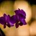 Орхидея. Нгапали.