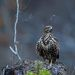 Канюк (Buteo buteo) Common Buzzard