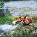 Полярная лиса в дикой  природе.