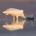 Малая белая цапля охотится