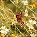 Бабочка и полевые ромашки