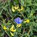 Голубянка в траве