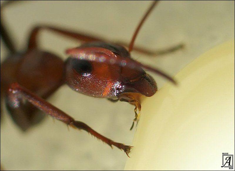муравей, сгущенка Муравьишка кушает сгущенку :)photo preview