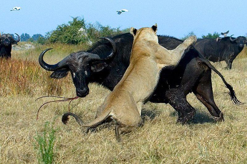 лев буйвол горшков gorshkov Поединокphoto preview