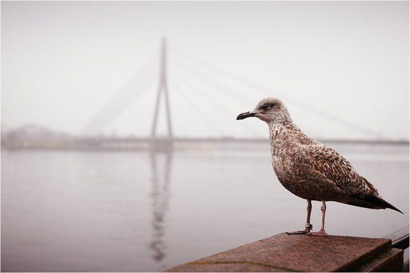 рига, латвия, река, мост, чайка, печаль Почему я не вижу здесь кораблей?photo preview