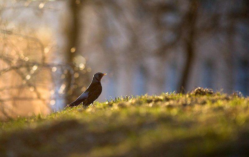 птицы, дрозд, карелия, природа, лес, россия, thrush, bird, nature, forest, russian, karelia Вы слыхали как поют дрозды?photo preview