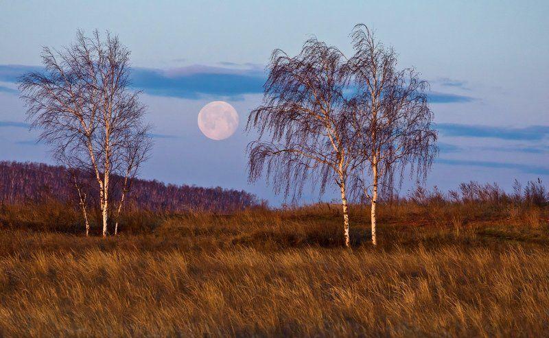 луна, березы, береза, утро, рассвет Утренний этюд с лунойphoto preview