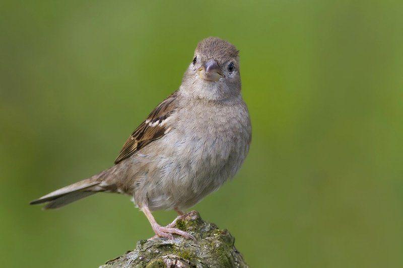 Домовый воробей (House sparrow)photo preview