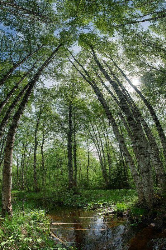 береза, весна, лес, панорама, пейзаж, ручей Панорамный взгляд на лесной ручей под кроной листвы, гармонирующей с голубым небомphoto preview
