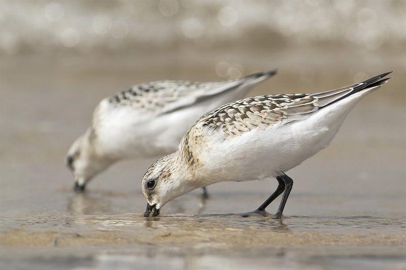 Песчанка · Calidris albaphoto preview