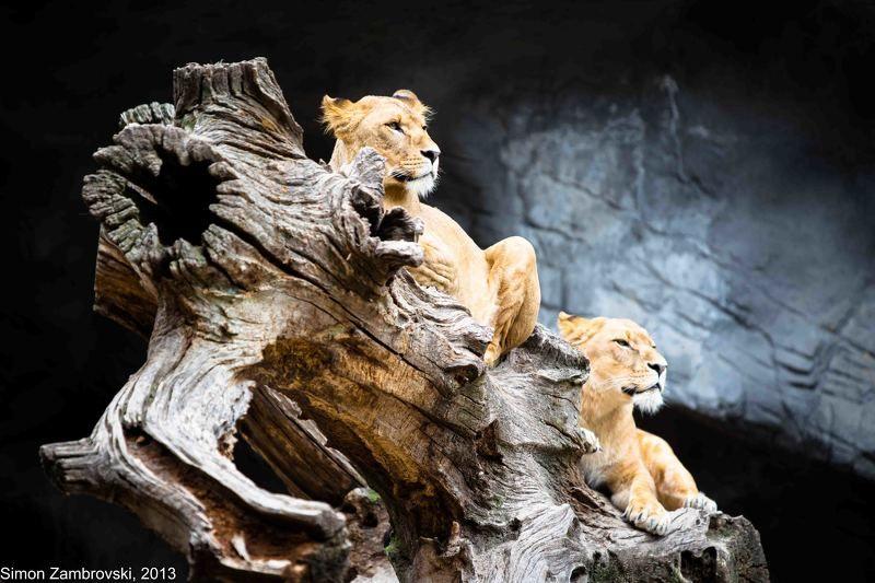 Hagenbeck, lion, Power, pride, Strong, Zoo, Увереность Прайдphoto preview