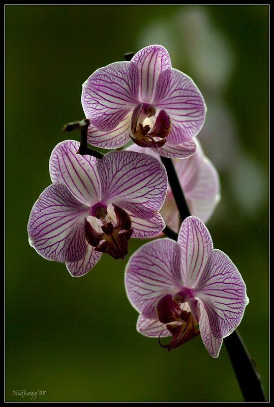 орхидея...photo preview