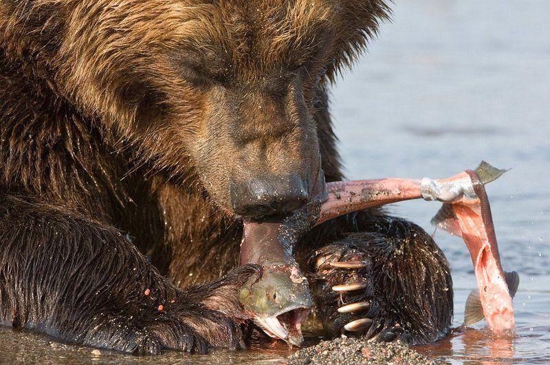 медведь, bear, горшков, gorshkov Медведьphoto preview