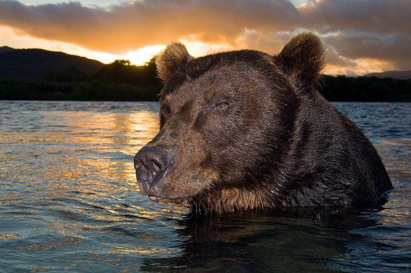 медведь, bear, горшков, gorshkov Портрет медведяphoto preview