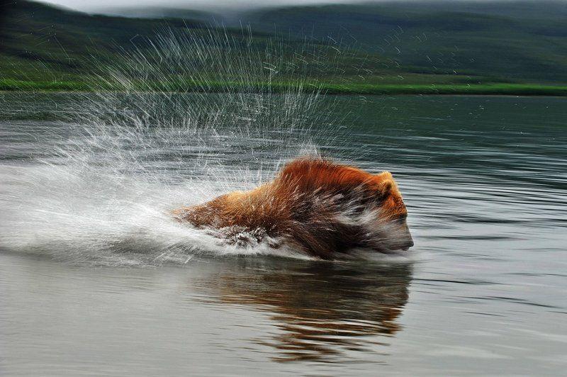 медведь, bear, горшков, gorshkov Погоняphoto preview