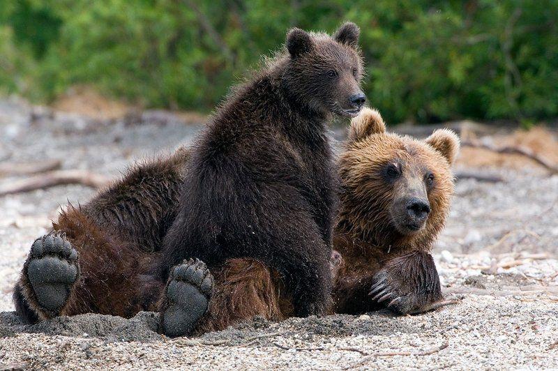 медведь, bear, горшков, gorshkov Семьяphoto preview