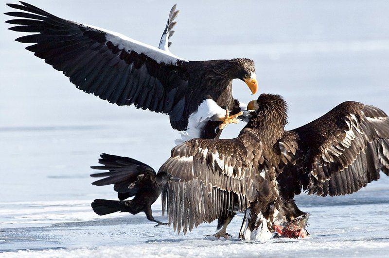 stellers-sea-eagle, белоплечий, орлан, , горшков, gorshkov Атакаphoto preview