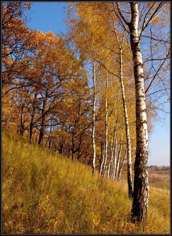осень, береза ***photo preview