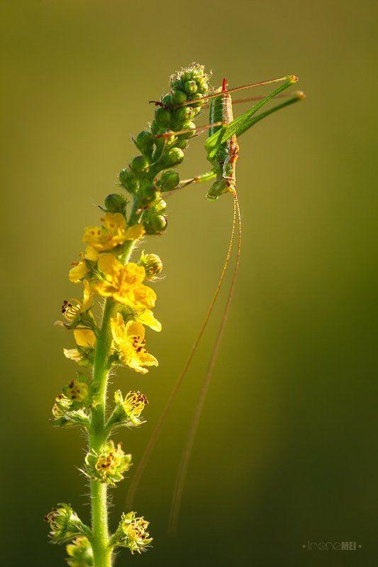 Animals, Female, Insects, Macro, Nature, Phaneroptera falcata, Tettigoniidae, Ukraine Летние дниphoto preview