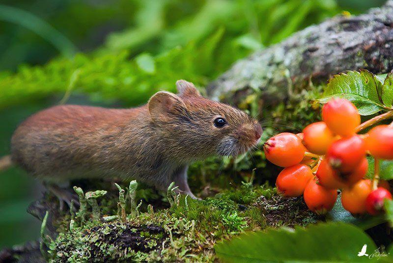 осень, красная полевка Осенний натюрмортphoto preview