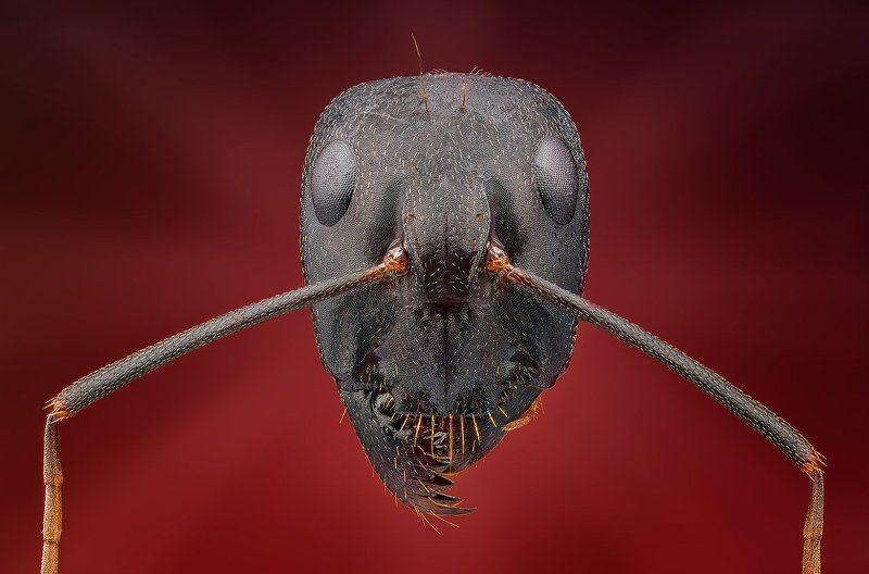 Голова муравьяphoto preview