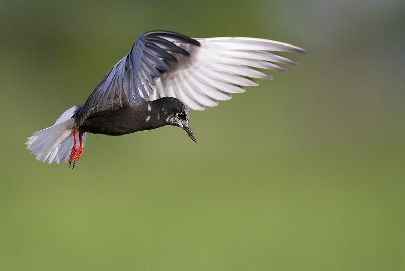 White-winged Ternphoto preview