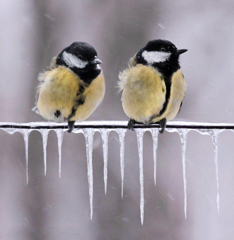 , птицы, синицы, сосульки, снег, холод, животные Ожиданиеphoto preview