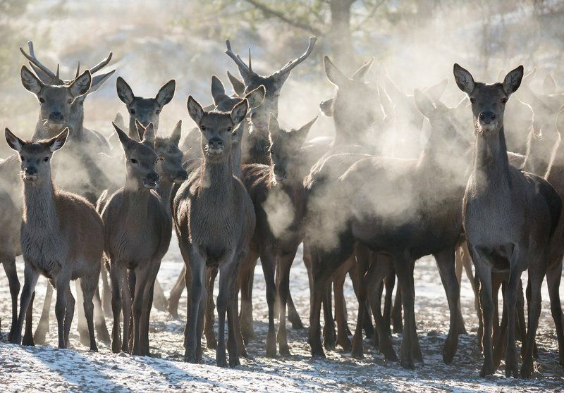 благородный олень, дыхание, мороз пар, национальный парк гауя Минус 25 в Национальном парке Гауяphoto preview