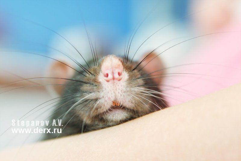 мышкины усишки, животные, animals мышкины усишкиphoto preview