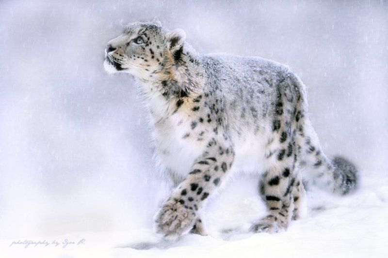 снежный...photo preview