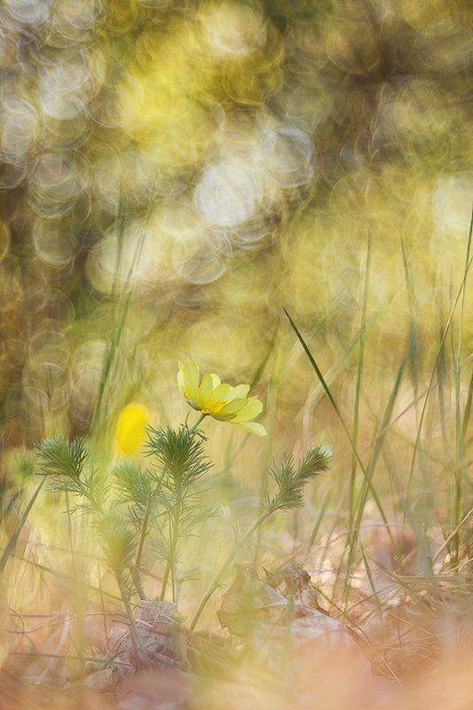 горицвет, адонис о горицветеphoto preview