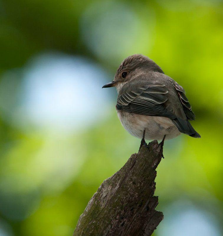 Касатка, Мухоловка, Птицы И когда же ОН отстанет...photo preview