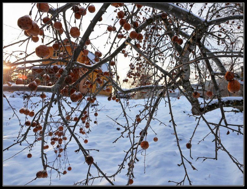 Зимние яблоки Яйлю.photo preview
