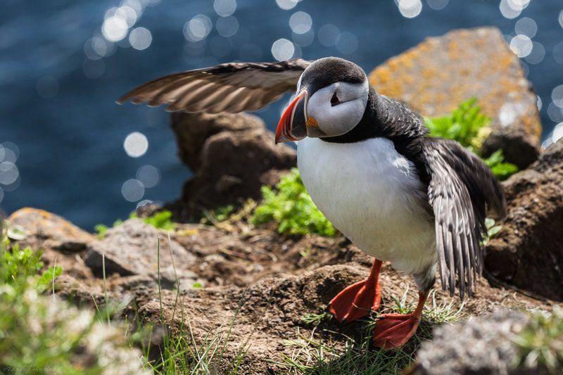 Iceland, Puffin, Исландия, Птица, Тупик Сейчас как взлечуphoto preview