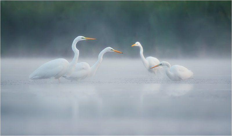 Birds, Great White Egret, Wildlife, Большая белая цапля Утренний консилиумphoto preview