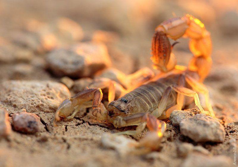 Пёстрый скорпионphoto preview